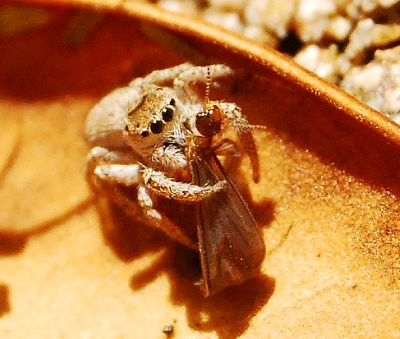 Jumping Spider Having A Late Lunch