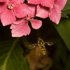 """Hoverfly In Flight(1) • <a style=""""font-size:0.8em;"""" href=""""http://www.flickr.com/photos/57024565@N00/3787763257/"""" target=""""_blank"""">View on Flickr</a>"""