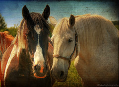"""""""two less lonely horses in the world"""" (.snap.sh00ter.) Tags: world two horses horse canon lonely less xsi 18200mm"""
