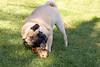 Doggie Heaven (AppleBlossom12) Tags: summer dog pet cute green beautiful grass animal canon puppy outdoors pretty sweet gorgeous adorable pug canine fawn chew bone pup dslr sigma18250 rebelxsi