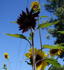 Towers of Flowers (alleenski) Tags: summer wisconsin garden madison sunflowers 2009 girasole lifecycleofthesunflower