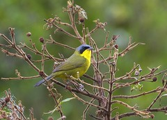 Pia-cobra (Masked Yellowthroat) (Bertrando) Tags: natu