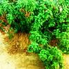 بساطة الري و الإنبات (magd1) Tags: شجرة نبات زهور أوراق زرع أشجار جذور تربه رحان