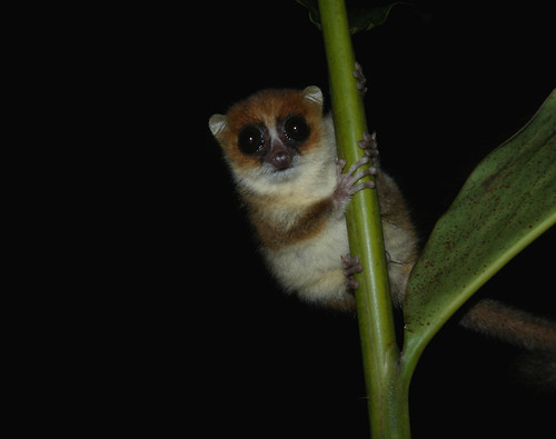 Brown Mouse Lemur, Nosy Mangabe, Madagascar