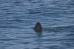 2009 09/05 Basking shark (Bar Harbor Whale Watch/Allied Whale) Tags: shark basking