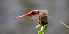 Crocothemis Erythraea #2 (Ambrita) Tags: wood shadow red water wings milano ombra ali acqua rosso insetto legno libellula sanguineum naturesfinest zampe sympetrum parcodellecave bej crocothemiserythraea odonati buzznbugz natureselegantshots