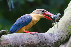 Stork-billed Kingfisher with prey (myrontay) Tags: storkbilledkingfisher pelargopsiscapensis gettyimagessingaporeq1