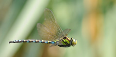 Aeshna cyanea (ComputerHotline) Tags: france macro animal insect dragonflies dragonfly insects franchecomté fra insecte insectes libellule odonata aeshnacyanea libellules odonate odonates sermamagny æschnebleue