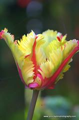 Devonport Garden (kiwigran) Tags: flower nature spring tulip