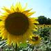 Sunflower - Le Canal du Midi