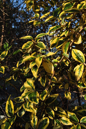 Eleagnus x 'Gilt Edge' 2