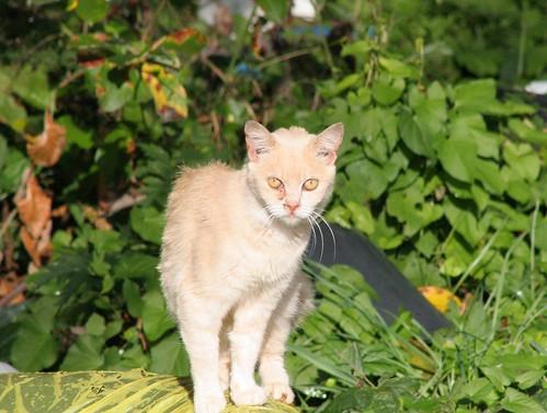 Watching Wary Beige Feral Cat