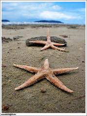 Starfish of Tanjung Aru Beach, Kota Kinabalu (sam4605) Tags: beach starfish samsung malaysia borneo kotakinabalu sabah kota kinabalu pantai tanjungaru s760 sabahborneo sam4605