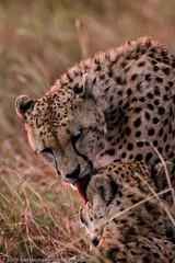 Cheetah brothers drying each other after rain at Maasai Mara - DAY01 _MG_8770 (Cassio Lopes & Alessandra Santos) Tags: africa nature animal mammal kenya wildlife safari bigcat cheetah savannah predator carnivore masaimara gamedrive maasaimara threebrothers bigcatdiary honeyboys