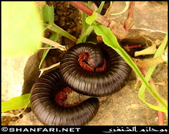 Crying  Archispirostreptus Gigas in Hamrair, Dhofar (Shanfari.net) Tags: flowers plants cow spring al cows ericsson sony ficus greenery cave worm worms oman عين tawi jebel jabal ain hafa salalah مدينة millipedes sultanate dhofar عمان شجرة gigas دودة khareef caria جبل haq سلطنة diplopoda خريف صلالة صلاله الحق taqah ظفار الخريف محافظة موسم governate archispirostreptus atir طاقة madeinat دربات darbat taiq التين كهف chongololo c905 baleed ittin البليد أثوم إتين ريثوت raythut الصرب طوي عتير الحافة طيق tayq حمرير hamrair hamreer athoom tibraq طبراق