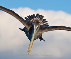 Comin' at ya... (Gitart) Tags: blue sky cloud brown white black yellow pelican peli pacificbrownpelican platinumheartaward