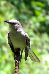 mockingbird (otto be in pictures) Tags: pickin fights