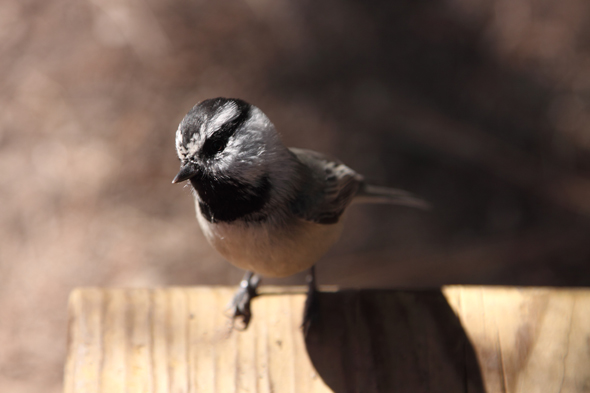 101609_mountainChickadee