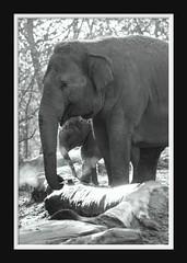 Elephant Love Serie 002 (Mandy van Tilborg) Tags: mandy elephant zoo blijdorp van olifant jong olifanten indische diergaarde aziatische olifantje olifantenjong tilborg