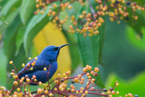 Cyanerpes lucidus blue bird
