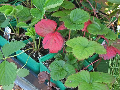Strawberries in fall/winter