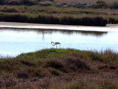 Flamingo, National park of Donana, Spain (fam_nordstrom) Tags: espaa spain flamingo huelva cadiz 2009 flamenco spanien sanlcar doana costadelaluz sanlcardebarrameda parquenacionaldedoana