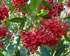 Toyon (Heteromeles arbuitfolia)