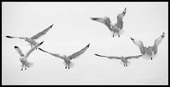 Ballet of the Gulls (Cygnus~X1 - Visions by Sorenson) Tags: park november autumn blackandwhite bw usa white lake black beach nature birds canon eos unitedstates fb wildlife seagull indiana lakemichigan explore 2009 indiansummer washingtonpark michigancity 50d ef70200mmf28lisusm craigsorenson