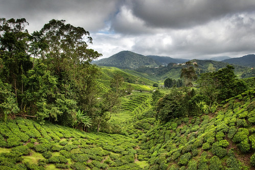Cameron Highlands 15