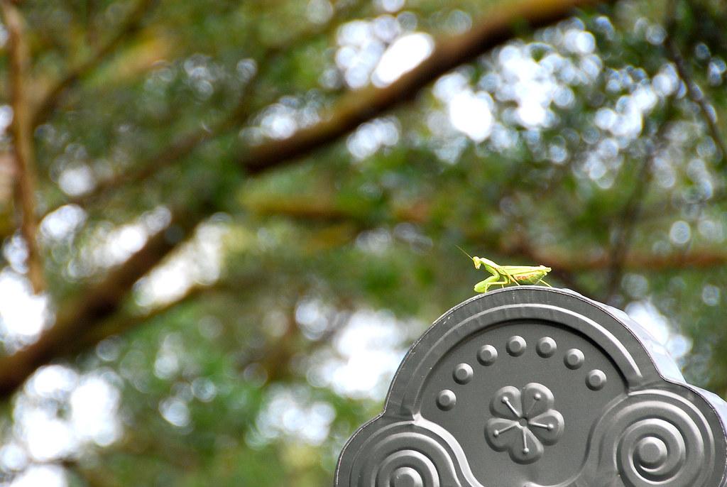 屋頂上的螳螂