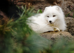 Too Cute for a Title (Brandon Christopher Warren) Tags: brown white cute green animal rocks adorable ears fox omg bushes claws arcticfox asheboro whitefox ncstatezoo eos5dmarkii thecutestthingyouveeverseen