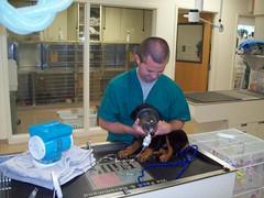 Anthony nebulizing a rottweiler puppy (Olathe Animal Hospital in Olathe, KS) Tags: kansascity nebulizer nebulization nebulizing rottweilerveterinarianvetvetspetdoctor