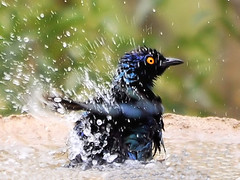 Cape Glossy Starling (Lamprotornis nitens)  enjoys a bath (rogerfscott) Tags: africa hot bird nature water southafrica photography photo nikon bath day image african wildlife picture reserve starling southern glossy photograph heat lamprotornis cape birdwatching birdwatcher southernafrica d90 nitens wildlifephotography lamprotornisnitens avianexcellence nikkor200400