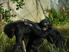 Mother and Baby Chimpanzee (Rennett Stowe) Tags: baby cute animal monkey babies chimp precious cuddly hitchhiking chimpanzee cutebaby monkies hitchingaride babymonkey cuteanimal pantroglodytes babychimp littlebaby commonchimpanzee chimpbaby babychimpanzee photochimp chimpanzeebaby picchimp youngchimp youngchimapnzee cutechimpbaby cutechimpanzeebaby photochimpbaby photographchimpbaby picchimpbaby picturechimpbaby chimpbabypic chimpbabypicture chimpbabyphotograph chimpbabyphoto littlebabyanimal cathchingaride photographmotherandbabychimanzee imagemotherandbabychimp motherandbabychimpanzeephoto babychimpanzees motherandbabychimpanzee babyholdingontoitsmother photographchimp picturechimp imagechimpbaby commonchimpanzeebaby photographmotherandbabychimp picturemotherandbabychimpanzee picturemothereandbabychimp motherandbabychimpphoto motherandbabychimpanzeeimage