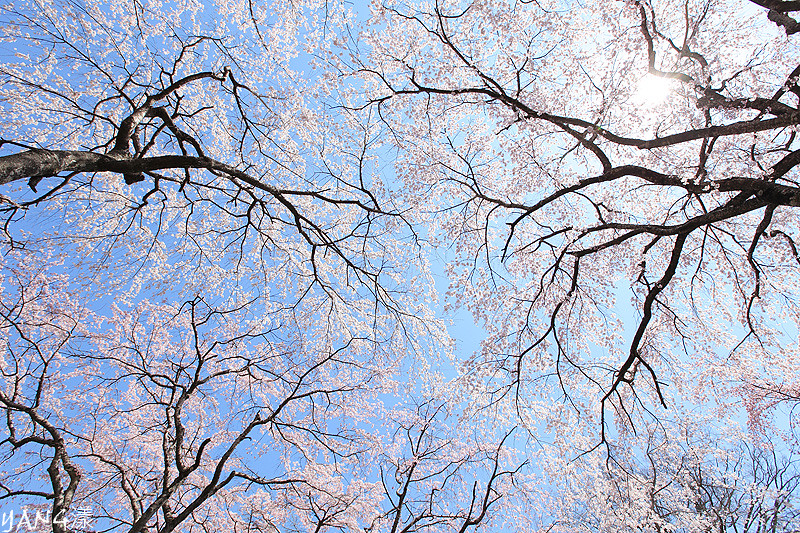 京都-佐野桜畑