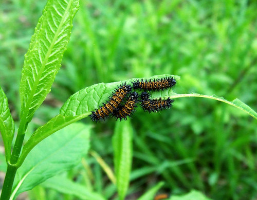 Baltimore checkerspot caterpillars