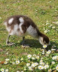 Cute Gosling (Girl With Butterfly Wings) Tags: baby cute daisies goose egyptian aww gosling