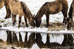 20170211-IMG_2640 (SGEOS@EARTH) Tags: schotse hooglander highland cattle scottish oerossen wildlife nature outdoor observer canon konikpaarden wilde paarden konik polish