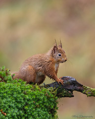 Red Squirrel (Lee Myers - aka mido2k2) Tags: cute mammal red squirrel fluffy wet furry rodent animal wild wildlife scotland scottish hide dumfries galloway uk countryside woods woodland nikon d5300 sigma 150500mm bbc springwatch countryfile photography