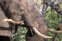 An Elephant's Toothpick (virtualwayfarer) Tags: tarangirenationalpark tarangire nationalpark wildlife animals wild safari adventuresafari photosafari canon dslr decembersafari tanzania africa tanzanian elephant elephants herd wildelephants mammal neverforget unforgettable africanelephant elephantinnature subsahara subsaharanafrica eastafricariftvalley riftvalley toothpick hungry hungryelephant elephanttoothpick tree eatingatree meal natgeoinpsired nationalgeographicinspired alexberger safariphotos adventuretravel solotravel travelinspiration photographyinspiration