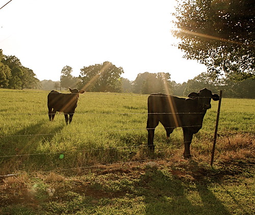 Cows in the Spotlight