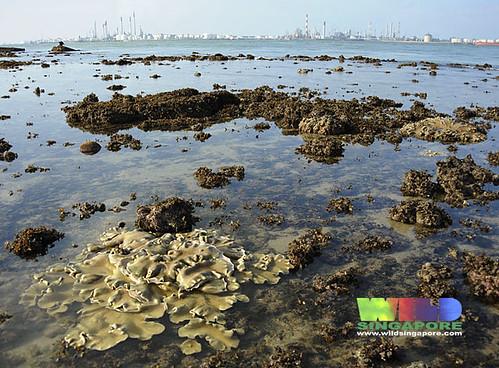 Living reefs of Cyrene facing Pulau Bukom