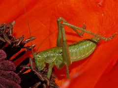 Locust 0 (gripspix (OFF)) Tags: red macro green insect poppy locust june2009