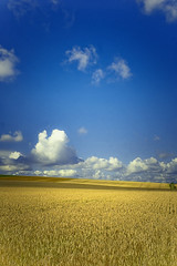 Fields of Gold (Guido Musch) Tags: france clouds landscape gold nikon champagne frankrijk d40 looksbetteronblack guidomusch vivitar28mm25 ialmostnevermakeportraitphotoslastonewas52photosago ididntmakethekindofphotoiwantedaroundhere icouldhavemakesomethingbetteriguess