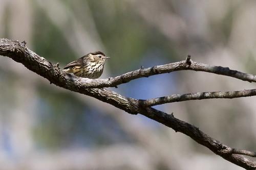 Speckled Warbler