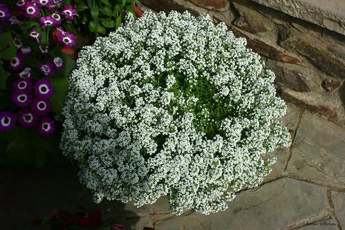 Im swaminathans photos white flowers at garden of five senses white flowers at garden of five senses mightylinksfo
