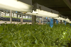 watercress in the aquaponics by Scrap Pile, on Flickr