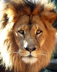 The Lion King (photographerglen) Tags: nature animal closeup canon zoo king sydney lion australia bigcat 100views roar 50views mane lionking tarongazoo intrestingness 100comments 25comments 50comments
