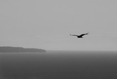 Searching (ChongoIsDanegerous) Tags: camera bw bird photography coast photo eagle hawk air snapshot picture shore frame dane vulture buzzard osprey hillard sonyalphadslra200 danehillard