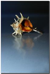 The shell on the shore (aviana2) Tags: sea summer stilllife water evening shell shore challengeyouwinner abigfave anawesomeshot aviana2 sonyalpha350 fotocompetitionbronze